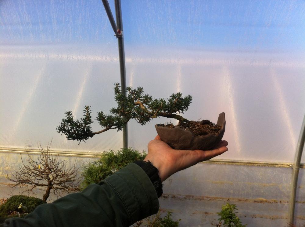 Cedrus brevifolia (1/4)