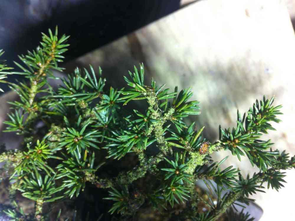 Cedrus brevifolia (4/4)