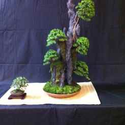 Buxus Microphylla Compacta - Brian Donnelly