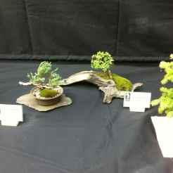 Buxus Microphylla Compacta/ Génévrier Procumbens Nain - Jacques Guyon