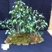 Ficus Benjamina - Sébastien Boulanger Boivin