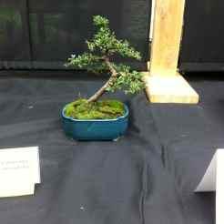 Cotoneaster Microphylla - Christopher St-Laurent Pedneault