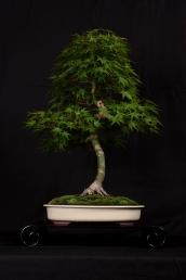 Acer palmatum select - Christopher St-Laurent Pedneault