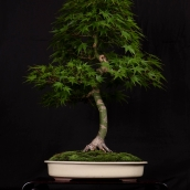Acer palmatum select - Christopher St-Laurent Pedneault